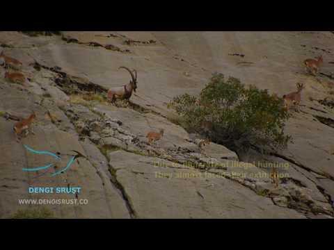 Iraq Kurdistan Wild Goats | Dengi Sruşt