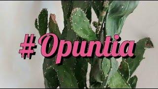 Cactos - Como vou cuidar da Opuntia monacantha estiolada!