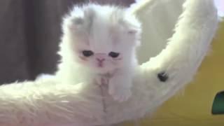 Няшный котенок персидской кошки.pretty kittens