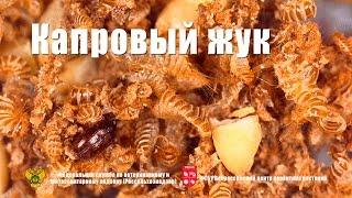 Капровый жук (Trogoderma granarium Ev.)