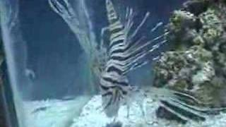 Lion Fish Eating