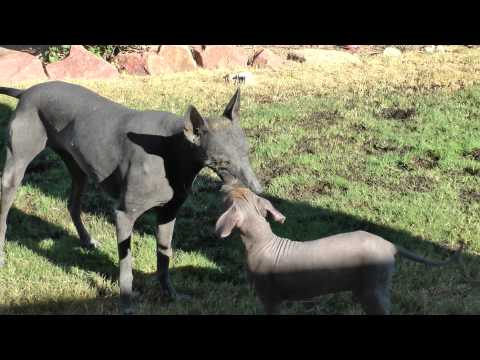 Xolo puppy learning how to play fetch ~ hairless dog
