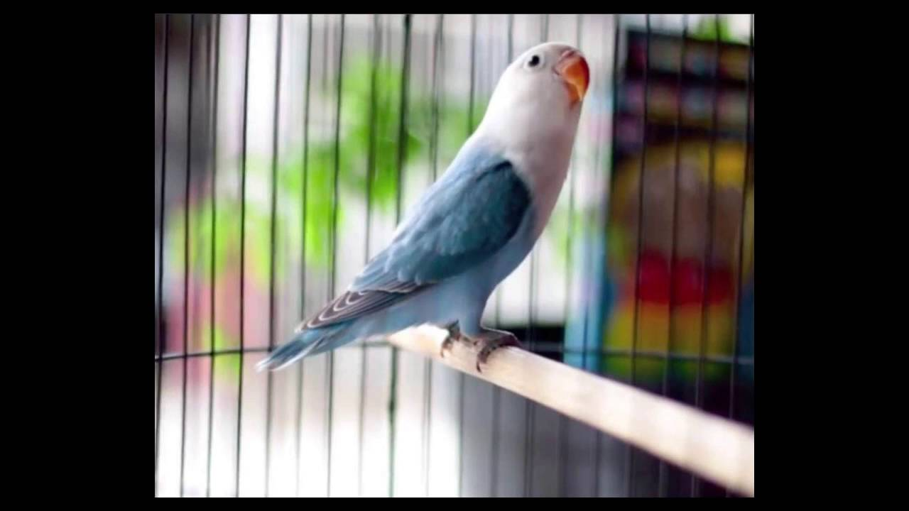 Top Gambar Kartun Burung Lovebird Kolek Gambar