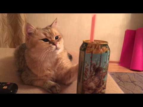Британские кошки Питомник британских кошек шиншилл