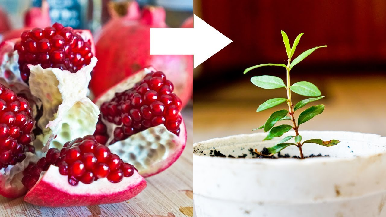 Download How to Grow Pomegranate Tree from Seed