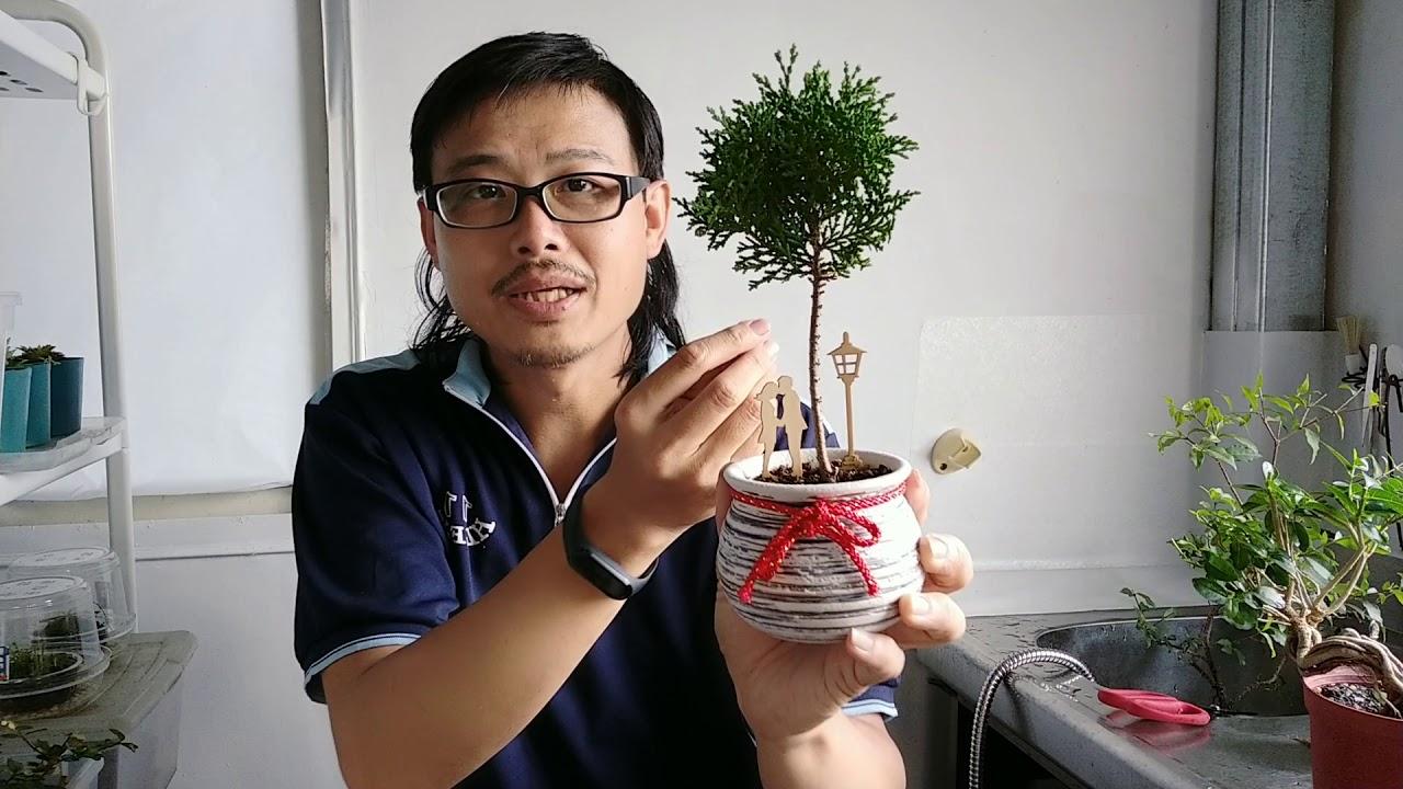 盆景植物類型簡介-1