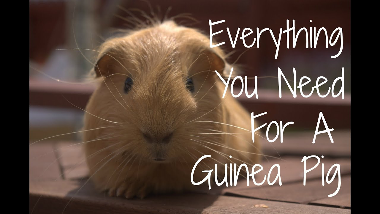 Everything You Need For A Guinea Pig  YouTube