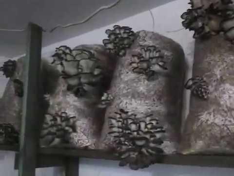 болезни грибов вешенки с фото