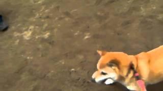 2010年11月13日 湯梨浜町尾崎邸で開催された山陰柴犬鑑賞会にて.