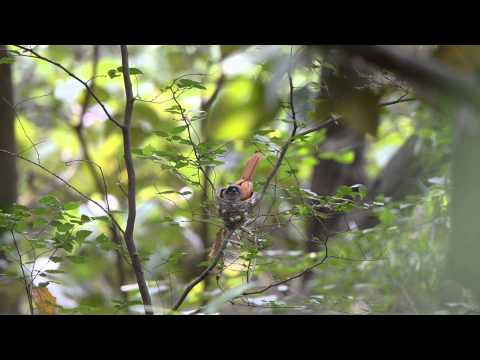 Asian Paradise Flycatcher, Terpsiphone paradisi