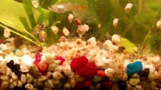 Отсадники для выращивания улиток Ампулярий, катушек для корма Хелен, Гуппи, Моллинезий и Растений 2.