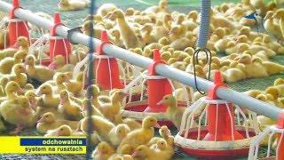 Hodowla kaczek w systemie na rusztach