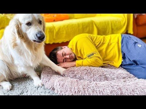 What does a Golden Retriever do when I sleep in his bed [Funny Dog Reaction]
