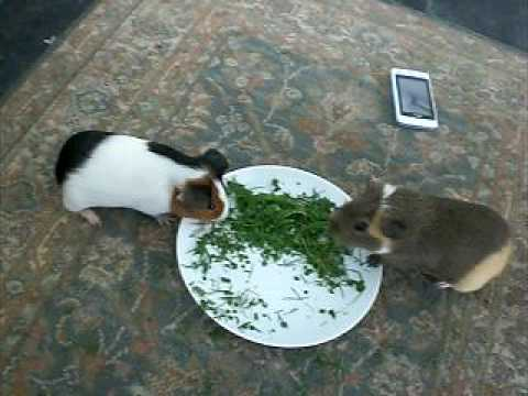 3 baby guinea pigs 2 sows 1 boar 8 weeks old For Sale in ...