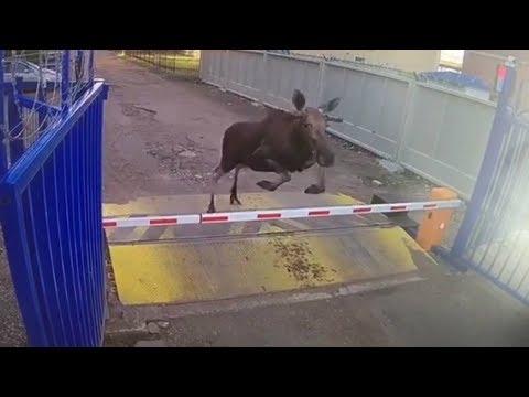 На сортировочный центр почты забежал лось
