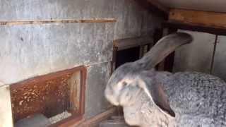 Выращивание кроликов (серый великан)(, 2014-01-23T09:45:24.000Z)