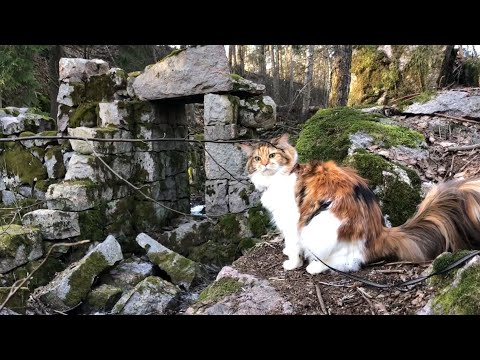 Maine Coon Cat: Remains of a Forgotten Past