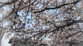 """Kobukuro """" sakura """" (cover)"""