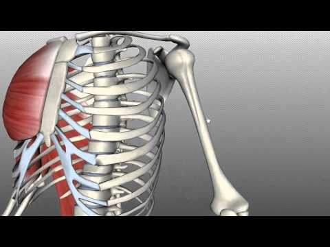 Features of the Humerus - Anatomy Tutorial