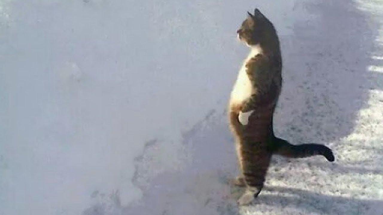Desafio Tente Não Rir de Animais Só gatos, Saltos Fail