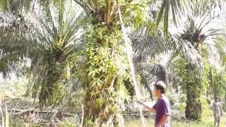 Ezy Cutter - Innovation Palm Oil Harvesting Sickle