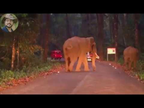 Asian Elephant's.