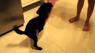 Toy Poodle Dancing.