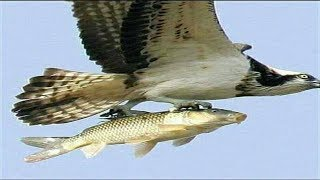 Eagle Take a Fish - Amazing!! Picture Taken At The Right Time