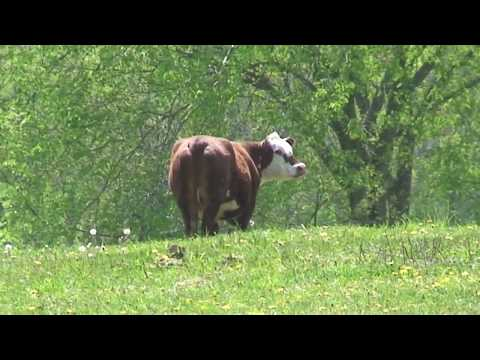 MAD COW KILLER CAUGHT ON TAPE