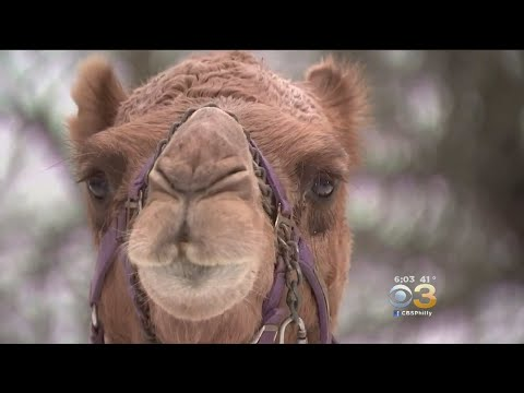 How Camel Got Stranded Along Snowy Montgomery County Road