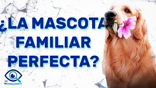 Documental Sobre El Golden Retriver - SobreNaturaleza