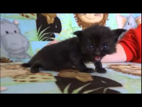 legend black ragdoll kittens from www ragdollkittens net youtube