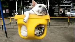 French Bulldogs In Swings Cute Omg Fart!