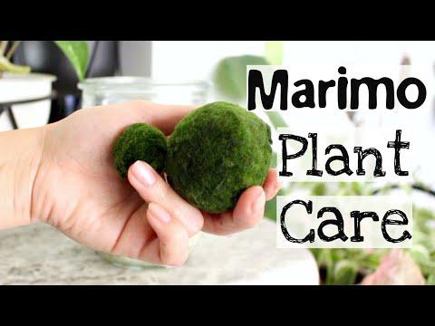 Marimo Moss Ball Plant Care Tips & Tricks | Marimo Plant Care.