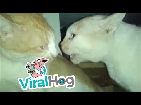 Two Cats Arguing | Thrill Blender