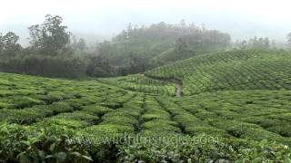 Tea plantations in Kerala