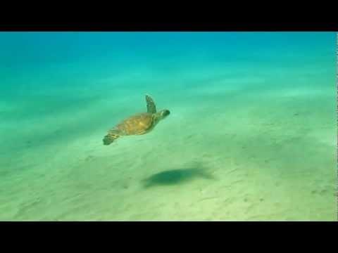 Baby Green Sea Turtle in Maui Hawaii
