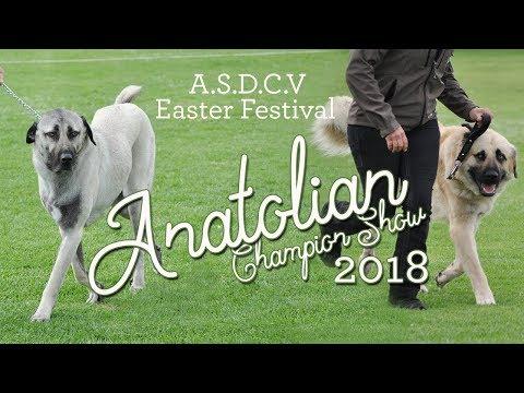 2018 Anatolian Shepherd Dog Champion Show - Easter Festival