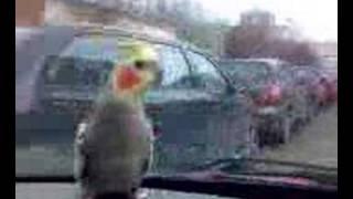 Korelák Cory prostě miluje jízdu autem