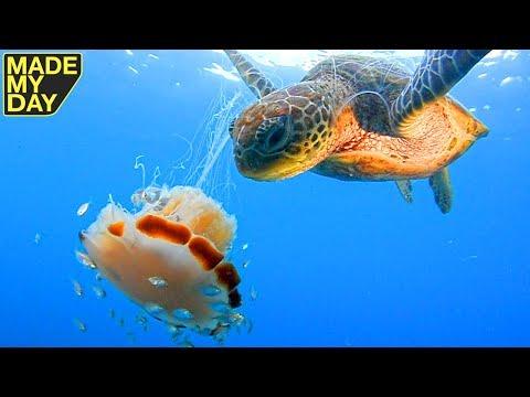 Die Schildkröte Entdeckt Eine Qualle Im Wasser - Schau Was Sie Mit Ihr Macht.