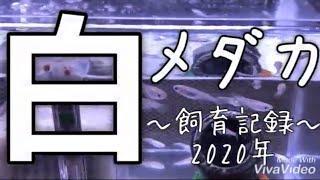 2020.01.05 〜白メダカの日常飼育編🐟〜