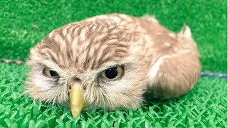 CUTE OWL - Funny Owls And Cute Owl Videos Compilation || BEST OF