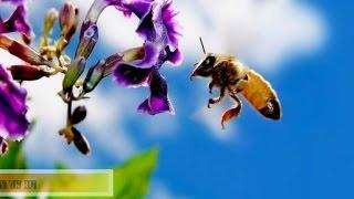 13. Формирование отводков.- Пчеловодство для начинающих.