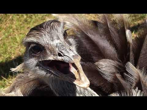 fauna brasileira silvestre EMA OLHAR ave selvagem pantanal pampas argentina brazilian brasil