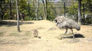 ウィン♂(エミュー)がラホミタ♂(オオカンガルーの子ども)の後をついて歩...