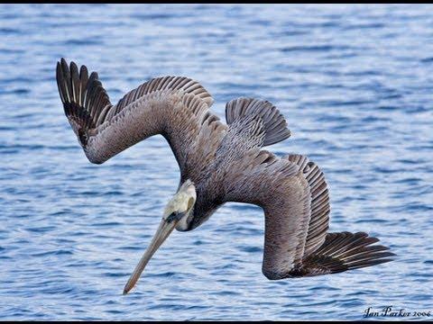 Diving Birds Pelicans Bombing For Fish! Nice Pelican Pictures!
