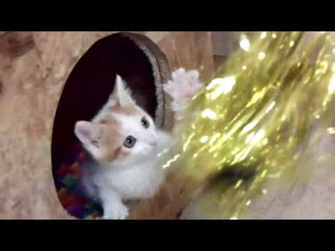 Japanese Bobtail Kittens from Klassy/Missy Litters - 052316