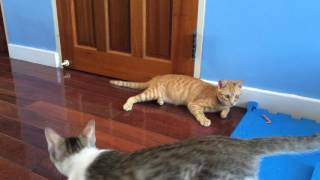 Cat playing marbles貓咪玩彈珠