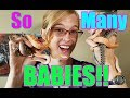 Meet our Baby Hognose and Bullsnakes!!