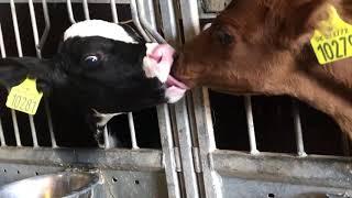 Farm #WithMe - Dairy Raw Milking Ro...